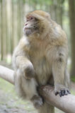 Barbary macaque in wildleif Stock Photos