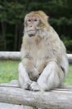 Barbary macaque in wildleif Stock Photography