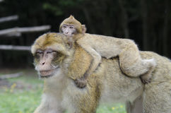 Barbary macaque in wildleif Stock Images