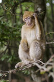 Barbary macaque in wildleif Royalty Free Stock Image