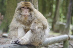 Barbary macaque in wildleif Royalty Free Stock Photos