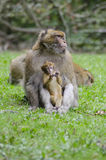 Barbary macaque in wildleif Royalty Free Stock Photography