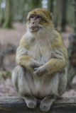 Barbary macaque in wildleif Stock Image