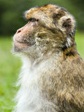 Barbary Macaque,  & x28;Macaca sylvanus& x29; Royalty Free Stock Photo