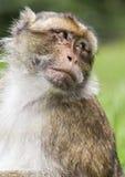 Barbary Macaque  & x28;Sylvanus& x29; Royalty Free Stock Photo