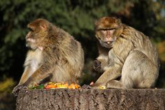 Barbary Macaques Stock Photography