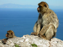 Barbary Macaques. On Gibraltar rock Stock Photo