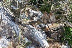 Barbary Macaques Fotografering för Bildbyråer