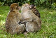 Barbary Macaques Royaltyfria Bilder