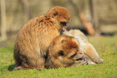 Barbary macaques Stock Photos