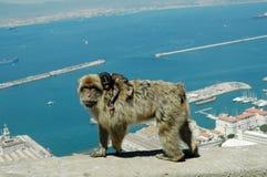 Barbary Macaques eller apor, Gibraltar Royaltyfri Foto