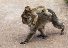 Barbary Macaques. Stock Photography