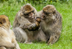 Barbary Macaques. Royalty Free Stock Image