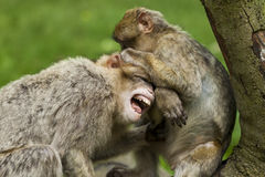 Barbary Macaques. Royalty Free Stock Photo