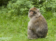 Barbary Macaques. Stock Photos
