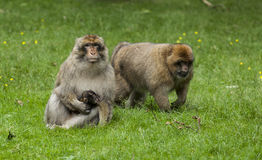 Barbary Macaques. Stock Images