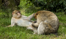 Barbary Macaques. Royalty Free Stock Photography