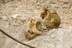 Barbary macaques family Royalty Free Stock Photos