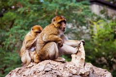 Barbary Macaques family royalty free stock image