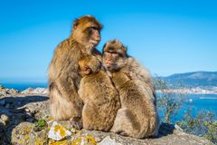 Barbary macaques family Royalty Free Stock Photography