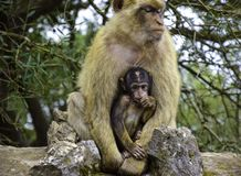 Barbary macaques in Gibraltar royalty free stock photography