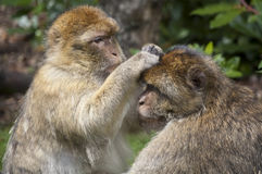 Barbary macaques grooming. A pair of Barbary macaques. One macaque grooms another Royalty Free Stock Photography