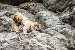 Barbary macaques Royalty Free Stock Images