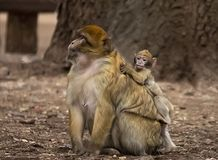 Barbary Macaques. A Barbary macaque and its young one at a park in Ifrane, near the larger city of Azrou, Morocco; October 9, 2018. The monkey is in the royalty free stock images