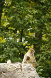 Barbary macaques mother and son Stock Images