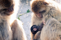 Barbary Macaques Stock Photo