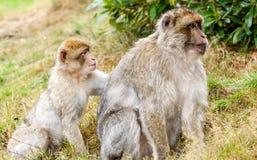 Barbary Macaques & x28;Macaca sylvanus& x29;,  grooming. Stock Photos