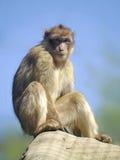 Barbary macaquesammanträde Arkivbild