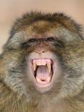 barbary makak Fotografia Royalty Free