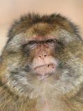 barbary makak Obraz Stock