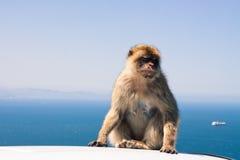Barbary makak Obrazy Stock