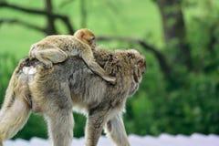 Barbary makak Zdjęcia Royalty Free