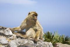 barbary makak Zdjęcie Royalty Free