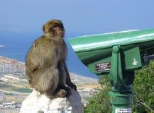 Barbary makak (małpa Gibraltar) Obraz Stock