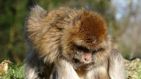 Barbary makaka małpa zbiory wideo
