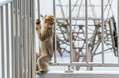 Barbary makaka małpa bawić się przy Gibraltar wagonem kolei linowej Obrazy Royalty Free