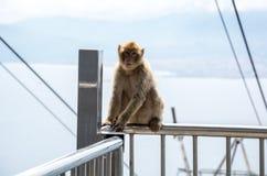 Barbary makaka małpa Obrazy Stock