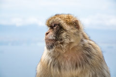 Barbary makaka małpa Obrazy Royalty Free