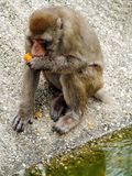 Barbary makaka sylvanus je pomarańcze w zoo obraz stock
