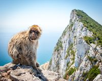 Barbary-Makaken auf Felsen von Gibraltar Lizenzfreie Stockfotos