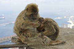 Barbary-Makaken bei Gibraltar Stockbild