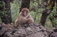 Barbary-Makaken in den Bergen von Marokko Lizenzfreie Stockfotos