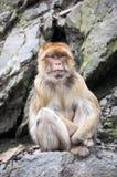 Barbary-Makaken, der auf einer Klippe sitzt Lizenzfreie Stockbilder
