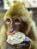 Barbary-Makaken, der Brot isst Stockfoto