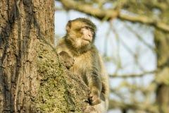 Barbary-Makaken, der in einem Baum am Affeweltzoo sitzt Stockfoto