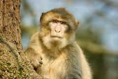 Barbary-Makaken, der in einem Baum am Affeweltzoo sitzt Stockbild